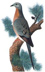 Pigeon voyageur mâle Ectopistes migratorius