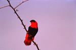 Ignicolore (Euplectes orix) mâle en plumage de parade sur son territoire.