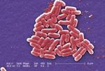 Escherichia coli (image prise au microscope électronique à balayage et artificiellement colorée)