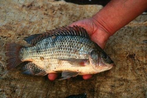 Au zimbabwe un leveur nourrit ses poissons avec du fumier de poulet une ann e en afrique - Peche du poisson chat au coup ...