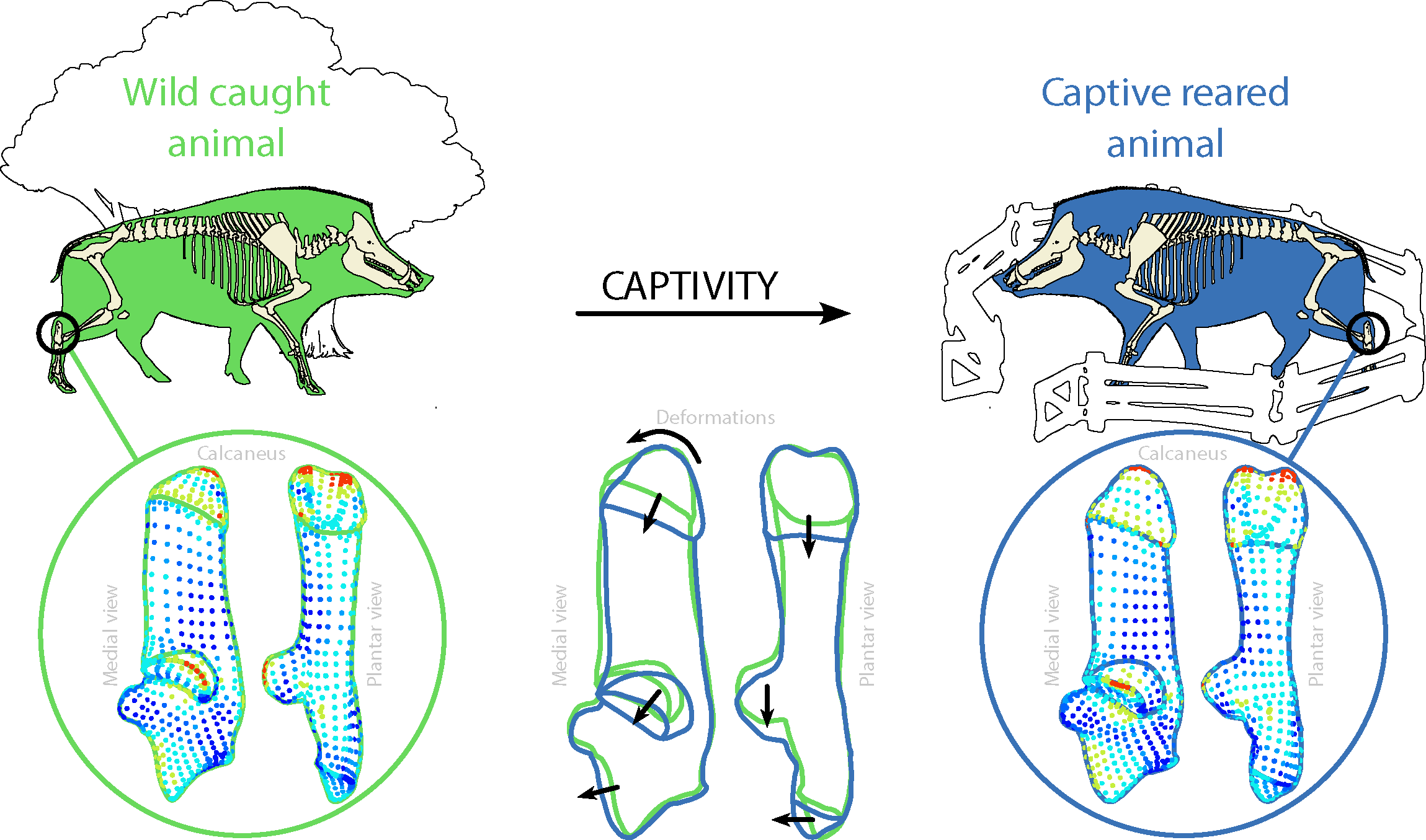 drawings and 3D shapes showing the changes in the calcaneus induced by captivity