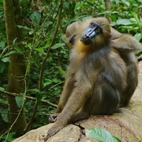 Smell helps primates flee parasites